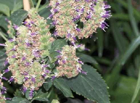 Пачули (pogostemon patchouli)