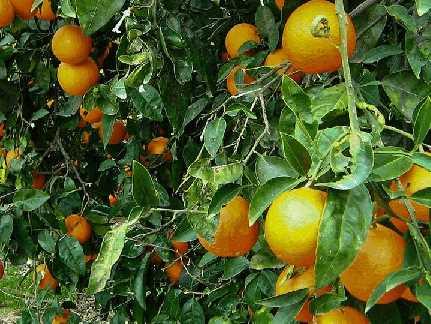 Апельсин (citrus sinensis)