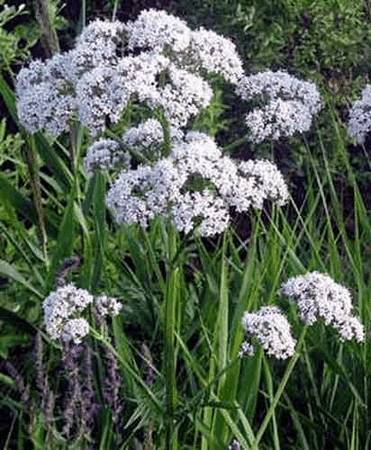 Валериана (valeriana officinalis)