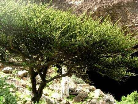 Коммифора муккул, мирра (гуггул) - небольшой цветущий кустарник, достигающий 10 м в высоту, с бумагообразной тонкой корой, ветви, несущие листья, оканчиваются шипами.