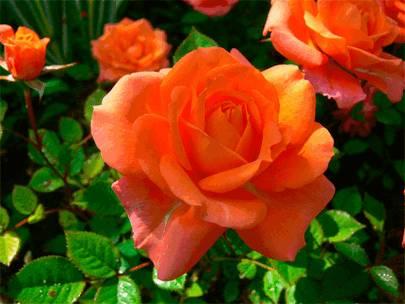 Розовое масло (olea rosae)