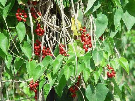 Гудучи, Tinospora cordifolia, Menispermaceae