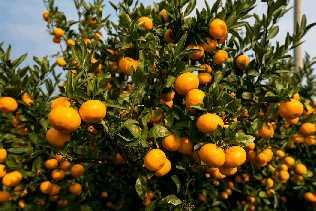 Мандарин - вечнозеленое дерево до 4 м высотой семейства рутовых, один из видов рода цитрусовых.