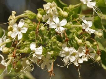 Патала (stereospermum suaveolens)
