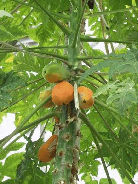 Папайя - культивируемое растение из рода карика, семейства папаевых, произрастающее в тропиках и субтропиках, предположительно, гибридного