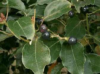 Корица (cinnamomum)