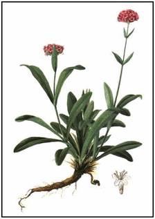 Джатаманси – нежное пряно-ароматическое растение с разветвленной корневой системой, родина которого – Гималаи.