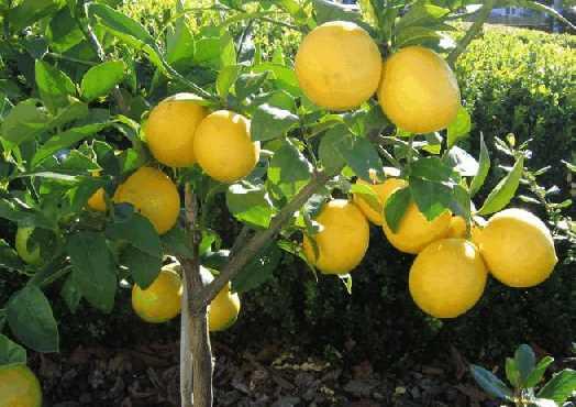 Лимон - небольшое вечнозеленое плодовое дерево из рода цитрусовых, семейства рутовых, высотой до 5-8 м, с сероватой корой,кожистыми, зелеными глянцевыми листьями, раскидистой или пирамидальной кроной, с белыми или кремовыми цветами, розовыми или пурпурными снаружи, с тонким нежным ароматом.