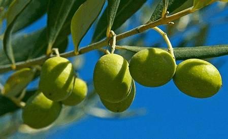 Оливковое масло (olea europaea oil)