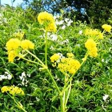 Асафетида имеет специфический вкус и обладает лечебными свойствами.
