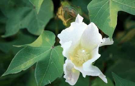 Хлопчатник (gossypium indicum)