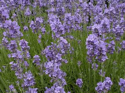 Лаванда (lavendula officinalis)