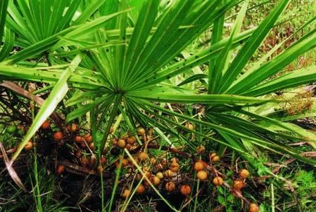 Пальма сереноа
