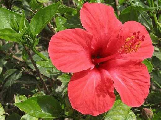 Гибискус (hibiscus rosa-sinensis)