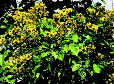 Птерокарпус мешковидный (pterocarpus marsupium)