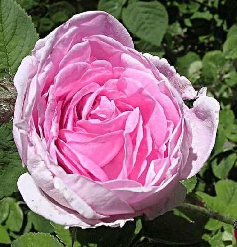 Роза столистная (rosa centifolia)