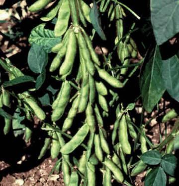 Соя источник природных белков, питательный диетический продукт. Соя обладает сильными антиоксидантными и омолаживающими свойствами.