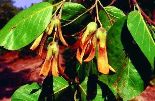 Саловое дерево (shorea robusta)