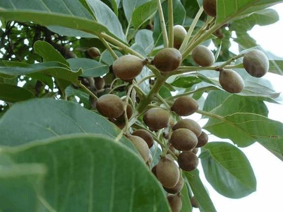 «Харитаки» дословно переводится как «устраняющая болезни». «Hara» - это еще одно имя Шивы, что свидетельствует о священной природе и выдающейся позиции харитаки в ряду других растений, поскольку она несет энергию самого Шивы.