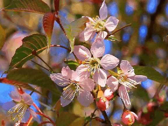 Вишня гималайская (prunus cerasoides)
