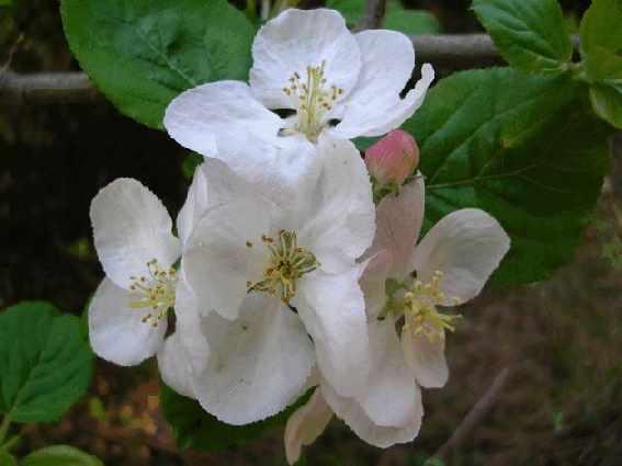 Яблоко всегда являлось символом здоровья, молодости и красоты.