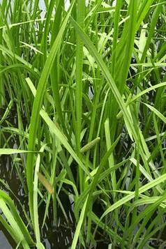 Аир болотный, аир тростниковый, татарское зелье