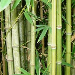 Бамбук находит широкое применение в медицине.