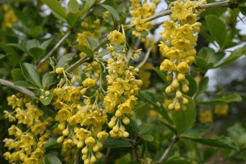 Дарухаридра (berberis aristata)