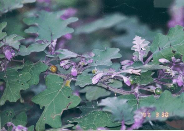 Брихати оказывает муколитическое, отхаркивающее, противоаллергическое действие.