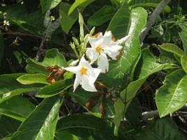 Хонеморфа макрофилла (chonemorpha macrofylla)