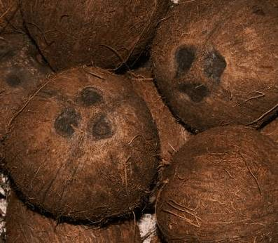 Кокос, cocos nucifera (лат), coco nut (англ)