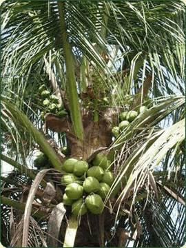 Родина кокосовой пальмы — Юго-Восточная Азия. Это растение морских побережий, предпочитающее песчаные почвы.