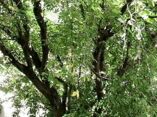 Понгамия - дерево из семейства бобовых с гладкой, серой корой, ароматными цветами, развесистой кроной, достигающее 25 м в высоту.