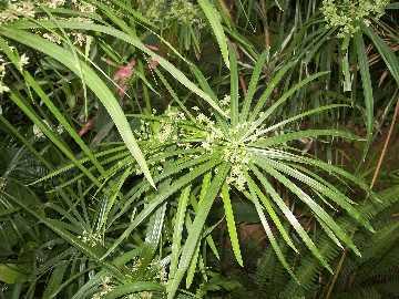 Сыть круглая (cyperus scariosus)