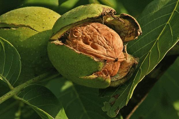 Грецкий орех (juglans regia)