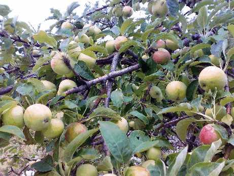 Яблоко, pyrus malus (лат), apple (англ)