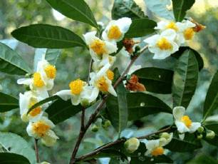 Зеленый чай (camellia sinensis)