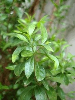 Хна (lawsonia inermis), Лавсония, lawsonia inermis (лат), henna (англ)