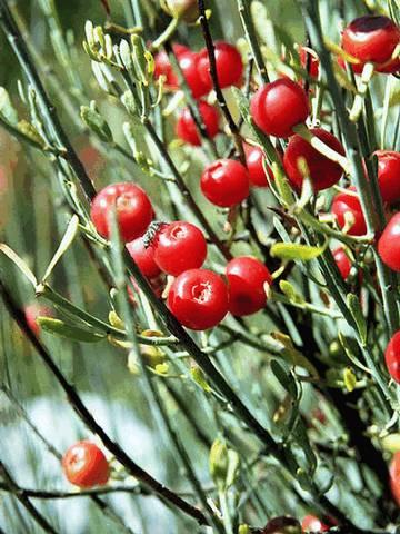 Эфедра, Ephedra vulgaris; Ephedraceae