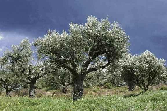 Оливковые деревья предпочитают приморские зоны, несколько удаленные от побережья, преимущественно склоны, легкие почвы.