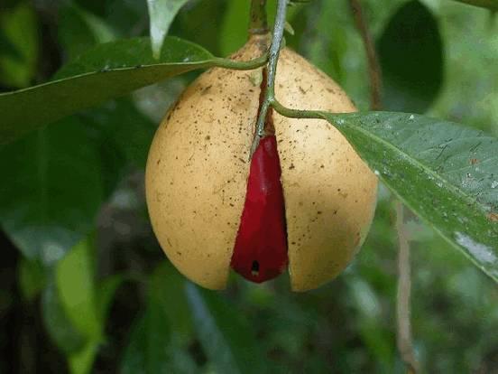 Мускатник душистый (myristica fragrans)