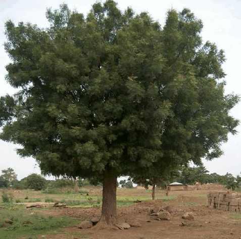 Ним — быстро растущее раскидистое дерево, в высоту достигает до 30 м, по диаметру кроны — 20 м.
