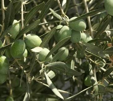 Олива (oliva europaea)