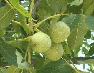 Зеленую скорлупу ореха и ее сок употребляют для получения каштанового и коричневого оттенка волос