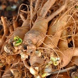 Женьшень, Раnах Ginseng, Araliaceae