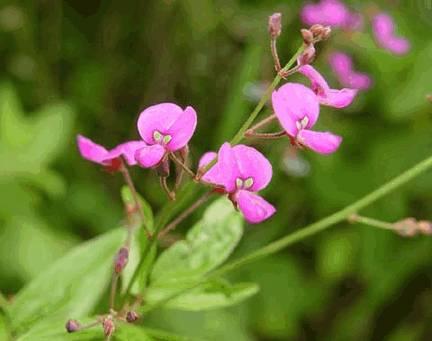 Шалипарна, desmodium gangeticum (лат), tick clover, beggar lice, tick trefoil (англ)