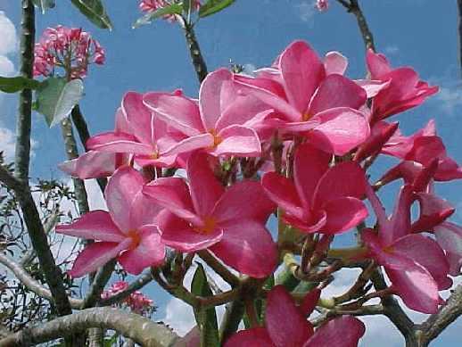 В современной полинезийской культуре женщины носят цветки плюмерии в волосах и за ухом, для украшения, а также  для указания на их статус - за правым ухом, если женщина не за мужем, и за левым, если она уже имеет мужа.