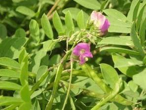 Врашавалли (ipomoea paniculata)