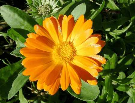 Календула лекарственная (calendula officinalis)