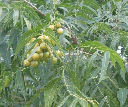 Мыльный орех — плод мыльного дерева, или сапиндуса (sapindus),который также называют «мыльной ягодой».
